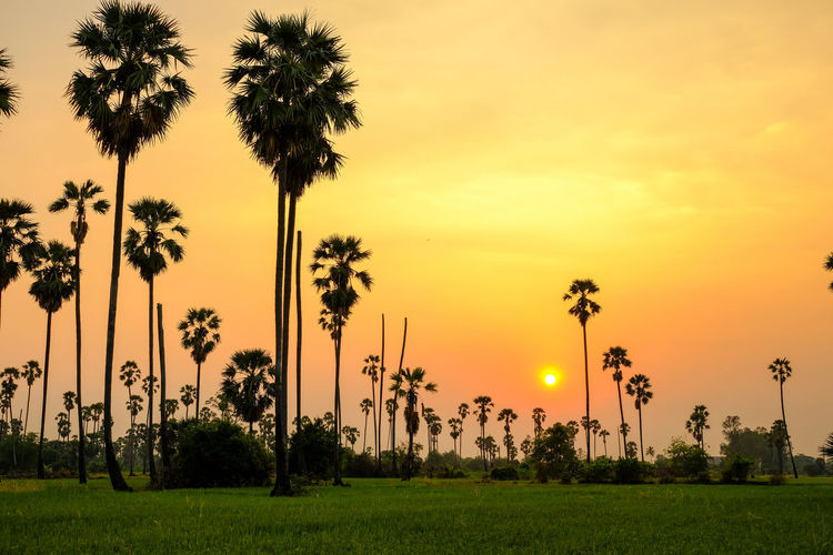 Silhouette Beauty In Nature Coconut Palm Tree Field Grass Growth Land Nature No People Orange Color Outdoors Palm Tree Plant Scenics - Nature Shadow Silhouette Sky Sun Sunset Tranquil Scene Tranquility Tree Tropical Climate