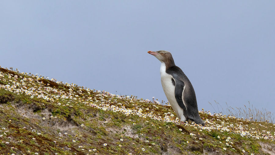 Low angle view of penguin on hill against clear sky