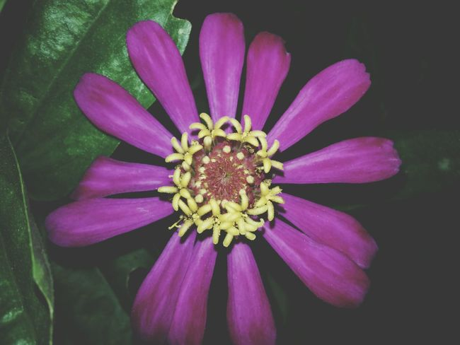 Flower Petal Beauty In Nature Flower Head Nature Purple Pollen Plant Close-up Pink Color Outdoors No People Day Fragility Freshness Zinnia  Passion Flower
