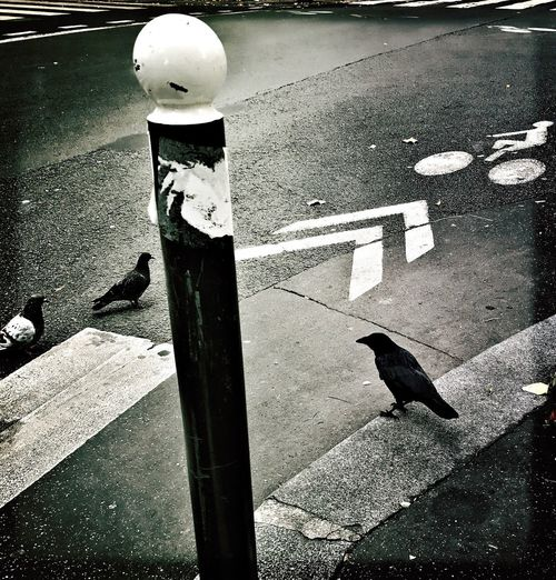 Animal Themes Bird No People Raven - Bird Road Sign Road Outdoors Day Paris Street Photography Blackandwhite EyeEmNewHere