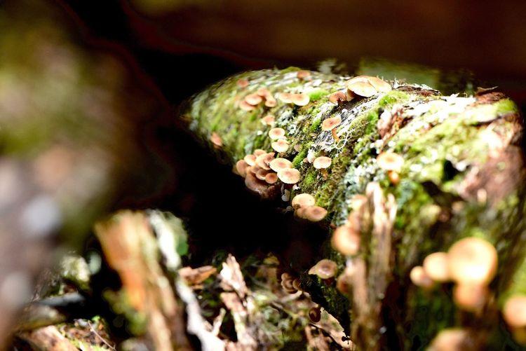 ナラタケかと思ったら ナラタケモドキ Armillaria tabescens 倒木に群生してると可愛いです 群生美映え #ナラタケモドキ #広葉樹の枯れ木 #木の根 #針葉樹 #Armillariatabescens #夏から秋 #ナラタケにそっくり #ナラタケモドキにはツバがない #食べすぎはだめ #三軒茶屋 #イタリアン #レストラン #ペペロッソ #ランチタイム #ランチデート #贅沢ランチ #パスタランチ #昼飲み #昼からビール #昼からお酒 #昼からワイン #ディナー #ディナーデート #ディナータイム #ディナーコース #イタリア #イタリアン #イタリア好き #三軒茶屋イタリアン #イタリア郷土料理店 https://www.peperosso.co.jp/ Funghi Plant Growth Selective Focus Close-up Beauty In Nature Nature Moss Animal Wildlife Animal Animals In The Wild Day Animal Themes Fungus Land Tree No People Sunlight Vegetable Mushroom Solid