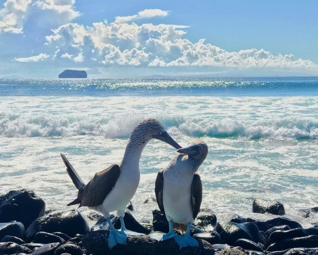 Galapagos Islands Bicker Sea Shore Sea Perching On Rocks Two Birds Blue Footed Boobie Animals In The Wild Bird Sea Water Animal Themes Animal Wildlife Beach Nature Penguin No People Beauty In Nature Sunlight Day Outdoors Horizon Over Water Scenics Wave Sky