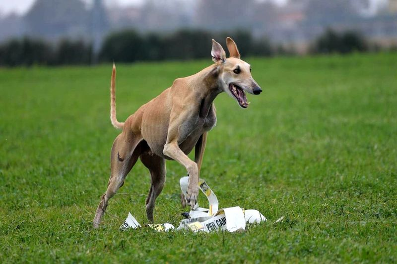 Greyhound Spanish Galgo Run For Fun Freedom