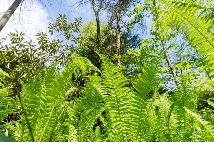 Green Ferns in Sunlight Botanical Chlorophyll Farn Farne Fern Ferns Flora Forest Fresh Freshness Garden Green Growing Growth Leaf Leaf Vein Leaves Morning Light Nature Outdoor Photosynthesis Plants Spring Sunlight Tree