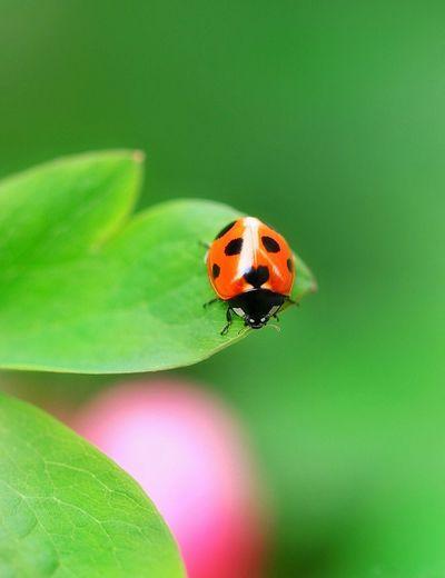 新緑とてんとう虫🐞 EyeEm Best Shots Insect Ladybug Invertebrate Animal Animal Wildlife Animal Themes Beetle Animals In The Wild Beauty In Nature Leaf
