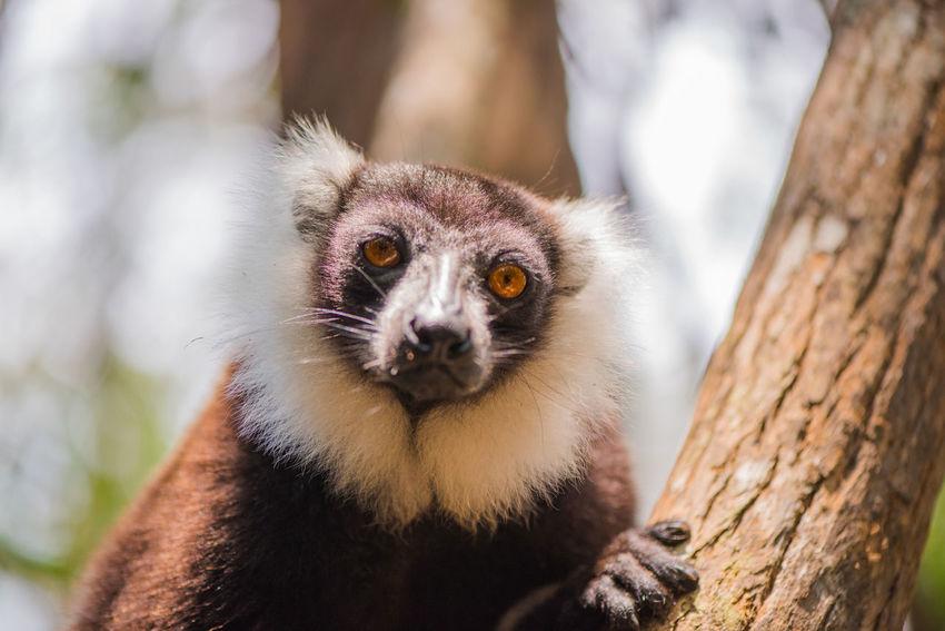 Bamboo Tree Animal Themes Bamboo Leaf Branch Climbing Lemur Lemur Catta Lémuriens Madagascar  Mammal Nature Outdoors Portrait Wildlife Ziseetheworld Ziwang