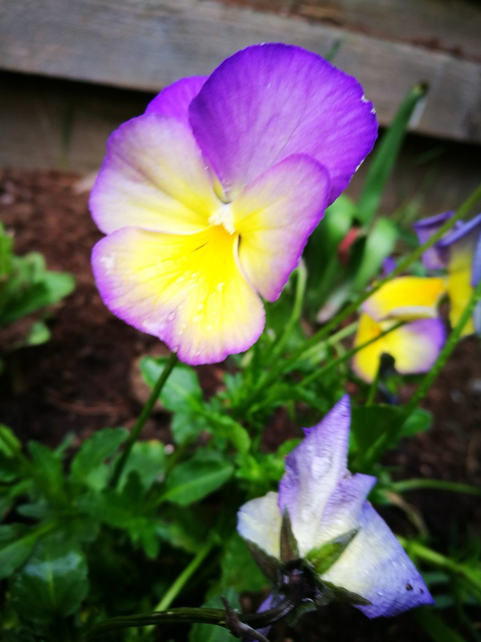 flower, petal, fragility, beauty in nature, flower head, nature, freshness, growth, plant, blooming, yellow, purple, no people, close-up, pansy, outdoors, day, crocus, petunia