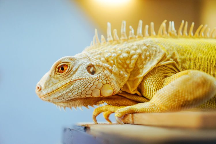 Profile view of yellow iguana on table