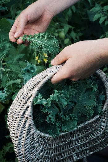 Cropped hands of woman holding basket while picking kale at vegetable garden