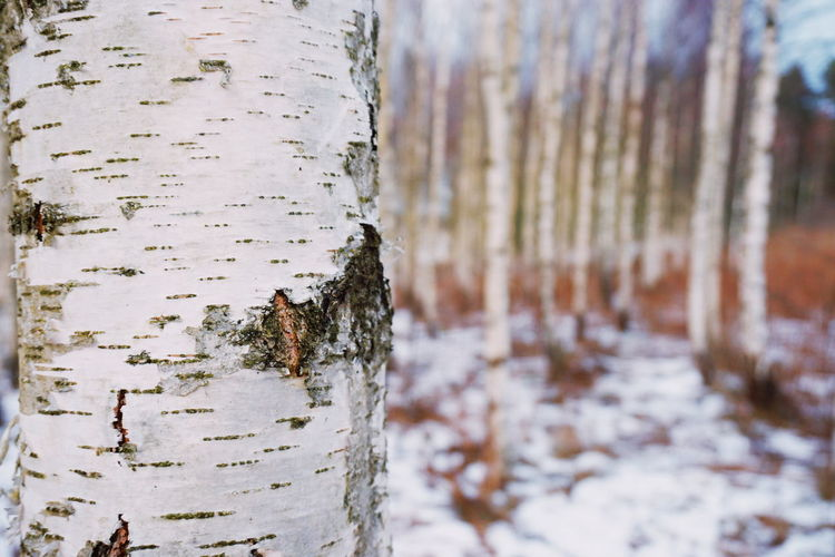 Close-up of tree trunk in winter