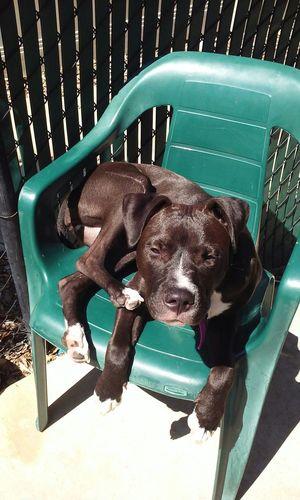 Relaxing Hanging Out Aboyandhisdog Pitbullsofinstagram PitBullNation Loving Pits Pitbull♥ LIFE'S THE PITS Pitbull Puppy My Pitbull