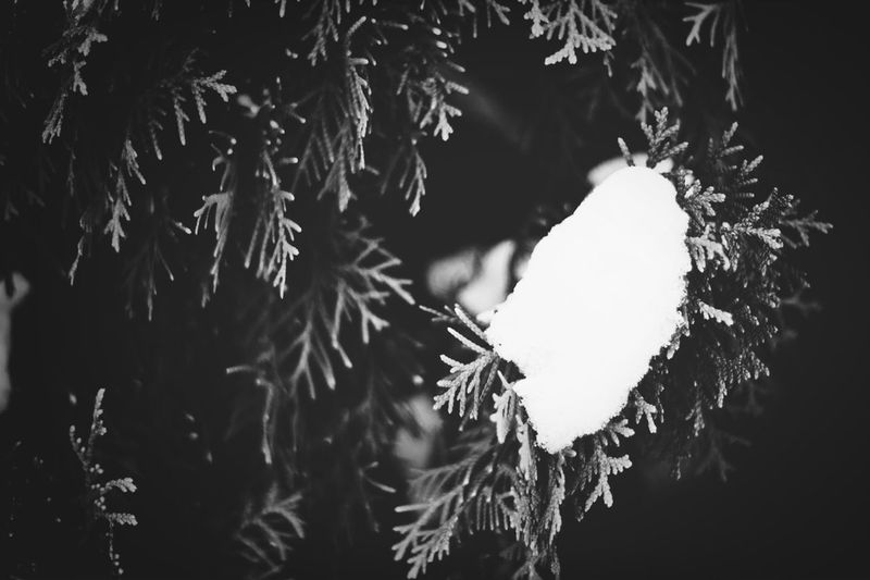 Snow on a cedar tree Nature Winter Snow Cedar Tree