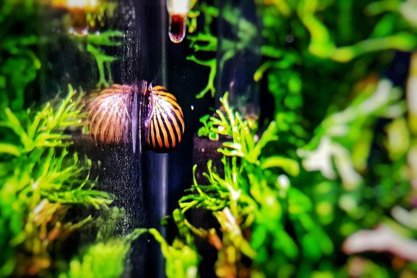 Nerite Snail Cleaning Aquarium Glass Aquariumlife Aquarium Samsunggalaxys7edge Smartfonefoto Aquarium Photography Nature Close-up Beauty In Nature