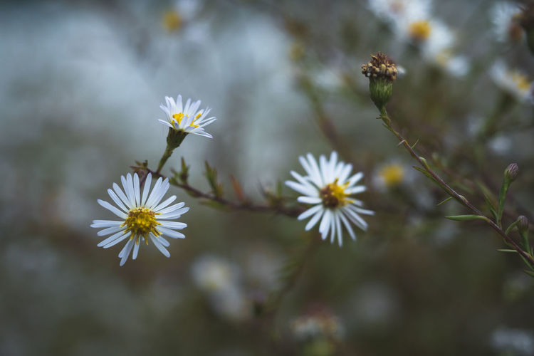 Daisies by a