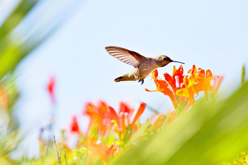Flying Flowering Plant Flower Animal Wildlife Animal Animals In The Wild Bird Plant Animal Themes Spread Wings Mid-air Nature Freshness Hummingbird Fragility One Animal No People Flower Head Outdoors Animal Wing Flapping Pollination Beauty In Nature Petal