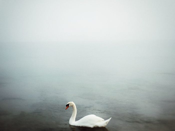IPhoneography Sea Ocean Bird Animal Themes Animals In The Wild Animal Animal Wildlife Vertebrate Water Beauty In Nature White Color Swimming Nature No People Water Bird Swan Copy Space Textured Effect One Animal Day Lake