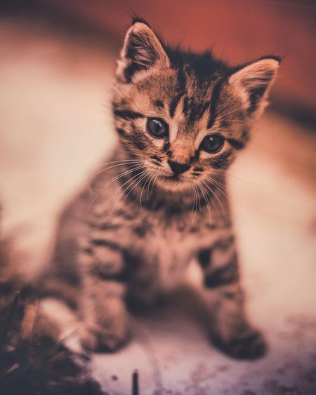 Little Pets Portrait Domestic Cat Domestic Room Cute Feline Looking At Camera Close-up Ginger Cat Kitten Pet Bed Tortoiseshell Cat Persian Cat  Carnivora Cat Stray Animal Tabby Cat Puppy Young Animal Paw Embarrassment
