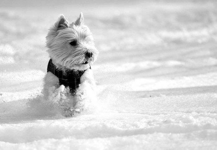 West Highland White Terrier, Westie dog running on the white snow Beauty In Nature Blackandwhite Breed Cute Dog Domestic Animals Focus On Foreground Idyllic Mammal Nature No People Outdoors Pedigree Pet Puppy Run Scottish Snow Speed Tranquil Scene Tranquility West Highland White Terrier Westie White Young