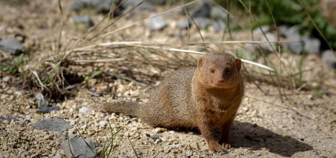 Portrait Of Mongoose On Field