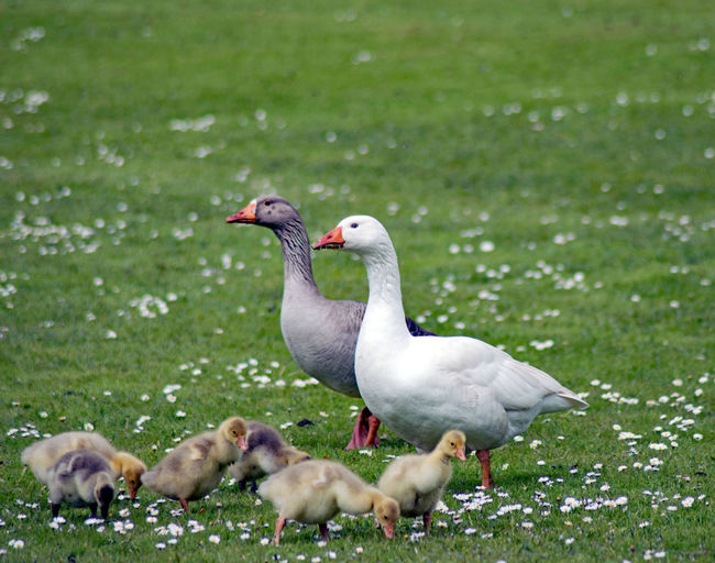 Animal Themes Animal Wildlife Animals In The Wild Bird Day Goose Grass Lake Nature No People Outdoors Swan Togetherness Water Young Animal Young Bird