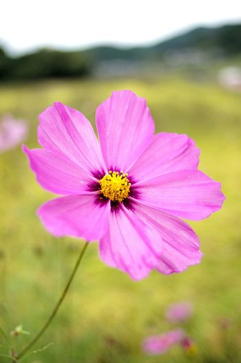 Flower Pink Color Petal No People Plant Nature Fragility Insect Day Outdoors Focus On Foreground Flower Head Cosmos Flower Close-up Beauty In Nature Freshness Eastern Purple Coneflower 秋桜 コスモス Day Time Photography Cosmos Flower 奈良 般若寺 Japan