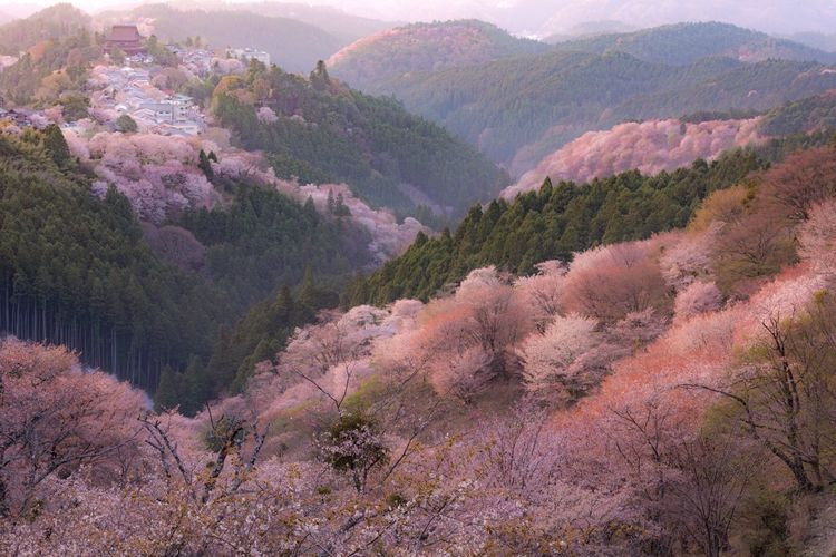 Beauty In Nature Tree Nature Tranquility Scenics Tranquil Scene Mountain Outdoors No People Landscape Cherry Blossoms Pink Color Japan Photography Nikon Nikon D7200 Nikonphotography EyeEmNewHere EyeEm Nature Lover Beautiful Flower