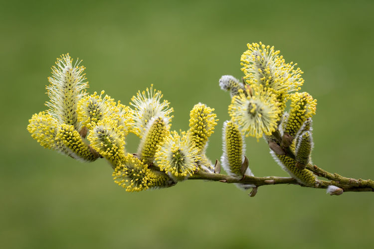 Willow catkins in Spring Beauty In Nature Beginnings Bud Catkin Catkins Close-up Day Flower Flower Head Flowering Plant Focus On Foreground Fragility Freshness Green Color Growth Inflorescence Nature No People Outdoors Plant Springtime Tranquility Vulnerability