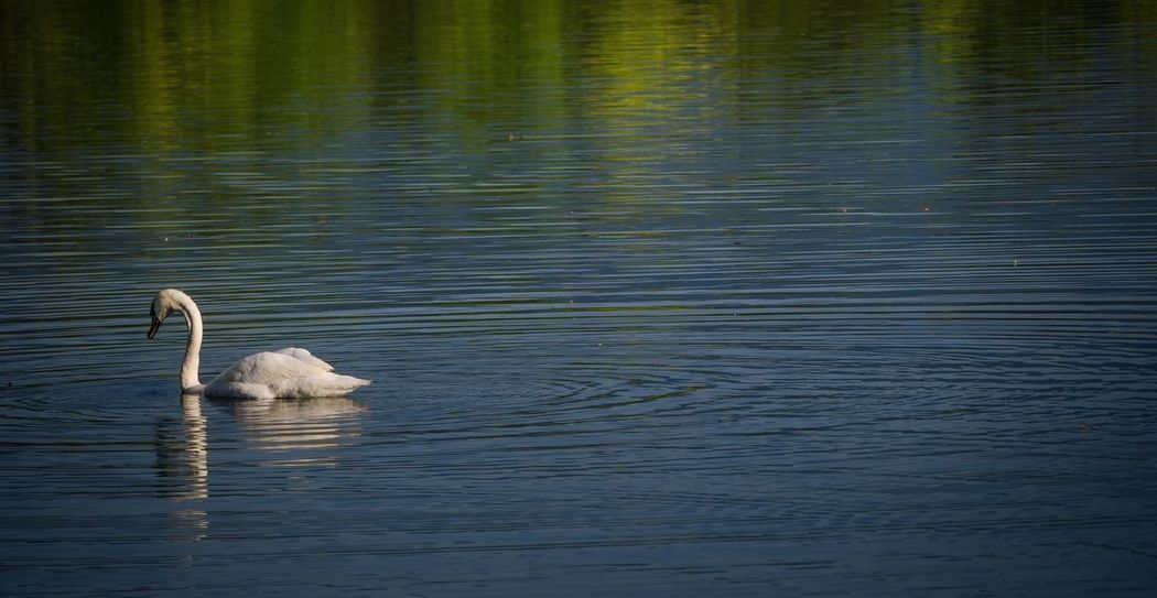 Swan and colours Swan Reflection Reflections Colours Of Nature Colours Blue Coloursreflection Nature Nature_collection Naturelover Naturelovers Nature Photography
