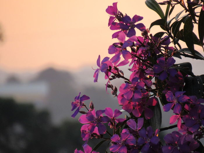Close-up of bougainvillea blooming against sky