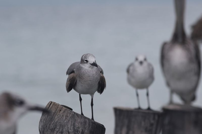 Seagulls and a