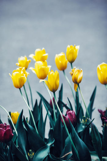 Close-up of yellow tulips outdoors