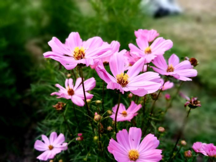 Beauty In Nature Close-up Cosmos Flower Day Field Flower Flower Head Flowering Plant Focus On Foreground Fragility Freshness No People Outdoors Pink Color Plant