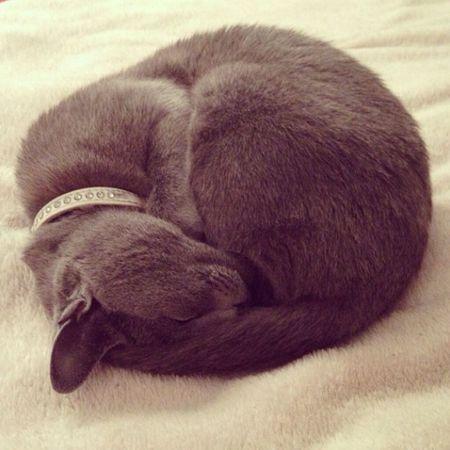 CatsMy Cat Lovely Sweet #russian #cat #pretty #cute #sleep #love ??