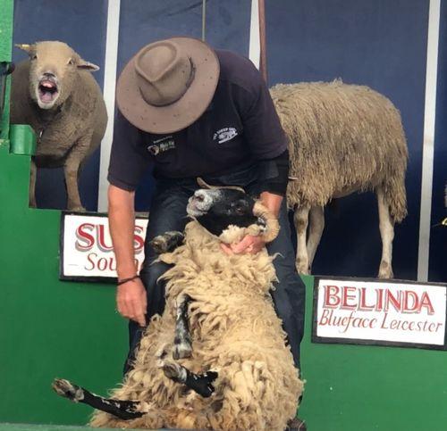 Sheep laughing Hair Cut Herbivore Shearing Laughing Yawning Sheep Animal Animal Themes Mammal Vertebrate Text Communication One Animal