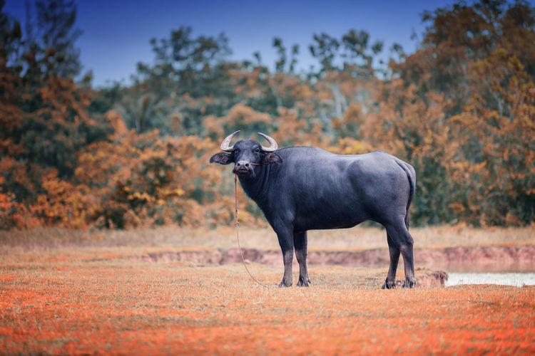 Full length of buffalo standing on field