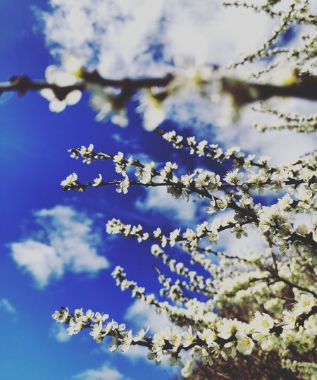Flower Tree Branch Water Blue Springtime Sky Close-up Cherry Tree Botany Blooming In Bloom Blossom Twig Fruit Tree Pollen