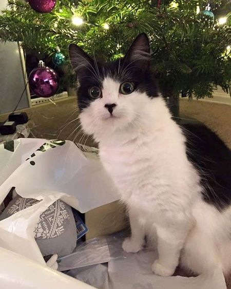 I have been assisting with this present wrapping business, Mum is very ungrateful of my support. Pepsi Catsofinstagram Cat Catstagram Cute Instalike Instagood Petstagram Christmas Wrapping Johnlewis Catinabag Presents Festive Nothelping