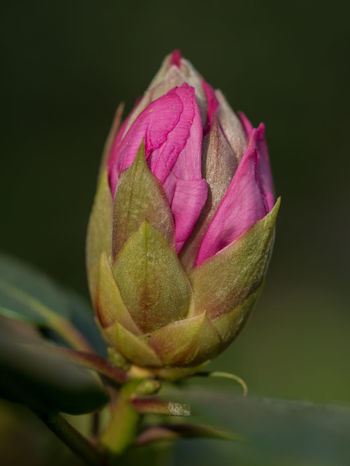 Beauty In Nature Bud Close-up Flower Flower Head Flowering Plant Fragility Freshness Growth Inflorescence Nature No People Petal Pink Color Plant Purple Rosé Rose - Flower Selective Focus Sepal Vulnerability