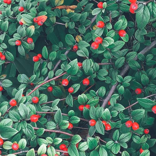 High angle view of red berries on plant