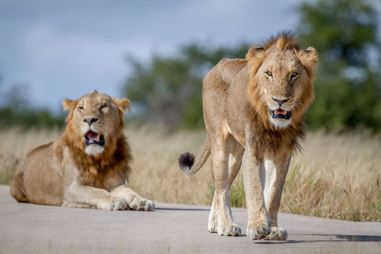 Lion and lioness on road against sky