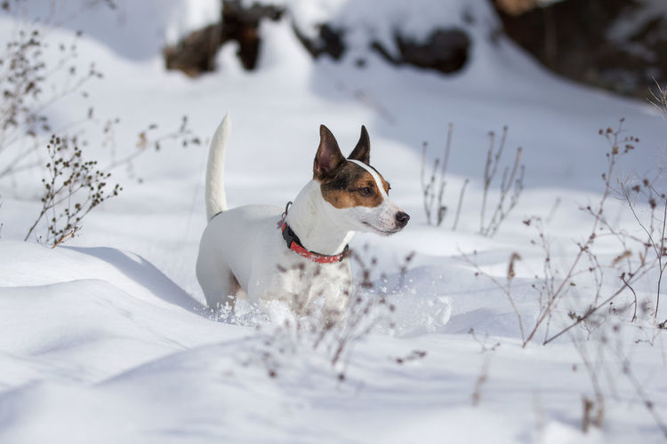 Female jack russell terrier dog walking through tall fresh snow on a beautiful sunny winter day