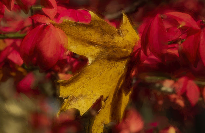 The leaves are changing along with the seasons. Red Close-up Plant Leaf Yellow Plant Part Selective Focus Autumn Multi Colored Beauty In Nature Change Fragility Freshness Petal Vulnerability  Maple Leaf Outdoors Macro Foliage Leaves Flora