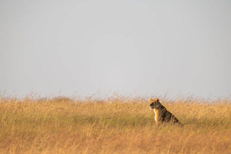 Lioness sits in long grass on horizon Africa Kenya Masai Mara Kicheche Savannah Savanna Travel Nature Safari Animal Wildlife Predator Cat Big Cat Big Five Carnivore Mammal Feline Lion Lioness Panthera Leo