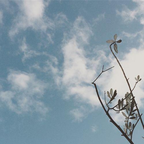 オリーブ オリーブの木 Olive Olive Tree 葉っぱ 空 雲 木 Tree Sky 優しい空