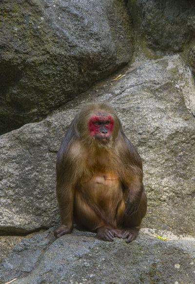 Bear Macaque Macaca Arctoides Zoo Animal Mammal Monkey One Animal Stump-tailed Macaque The Portraitist - 2018 EyeEm Awards
