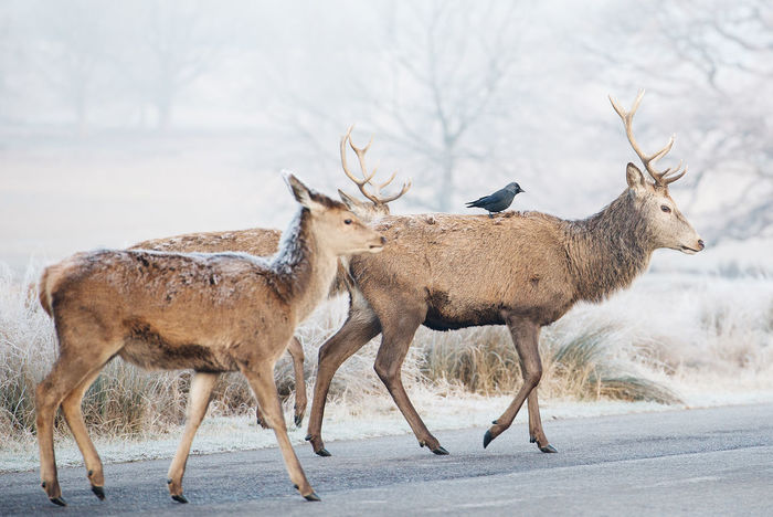 Adapted To The City Animal Themes Animal Wildlife Animals In The City Antlers Day Deer Deers Fog Foggy Morning Frost Large Group Of Animals Magnificent Mammals Mist Nature No People Outdoors Richmond Park, London Winter Winter Morning Crossing The Street Bird Perching