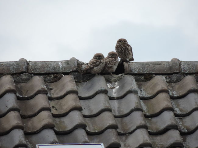 Animal Themes Animals In The Wild Beautiful Day No People Outdoors OWL Family Roof
