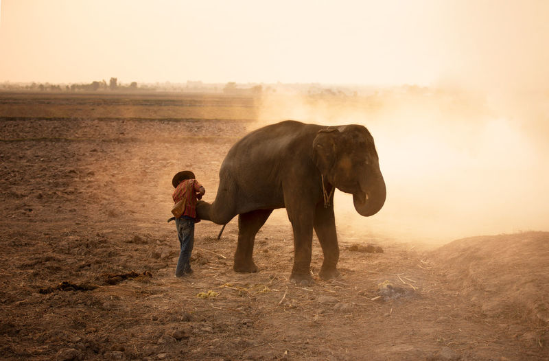 Side view of elephant standing on field during sunset