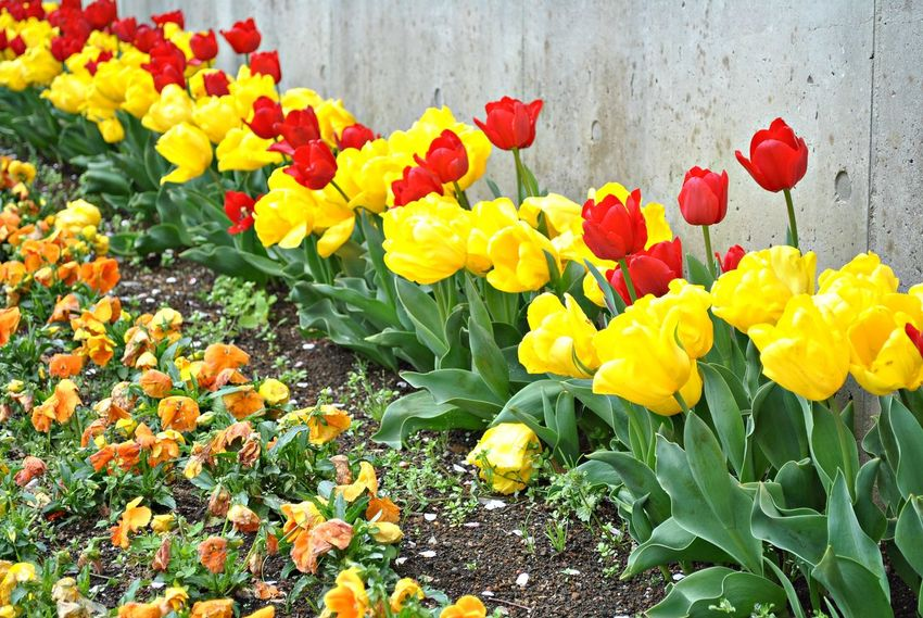 Beauty In Nature Blooming Day Field Flower Flower Head Freshness Growth Multi Colored Nature No People Outdoors Petal Plant Springtime Tulip Yellow Yellow Color Yellow Flower