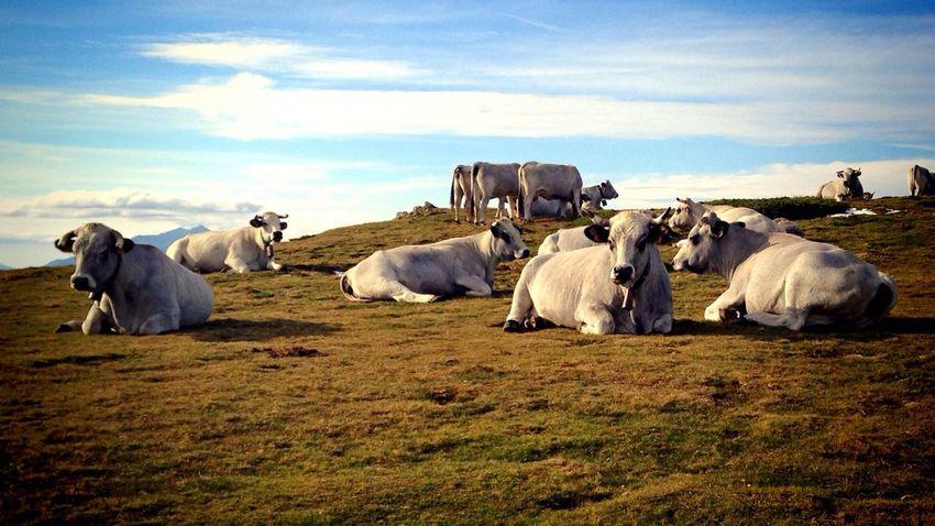 Mooo Nature Cows Pyrenees